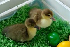 Patos de Pascua fotos de archivo