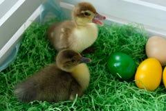 Patos de Pascua imagen de archivo libre de regalías