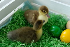 Patos de Pascua imagen de archivo