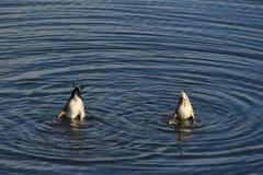Patos de salto Fotografía de archivo