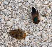 Patos de sentada Foto de archivo libre de regalías