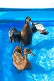 Patos del animal doméstico en la piscina de un niño Imagen de archivo
