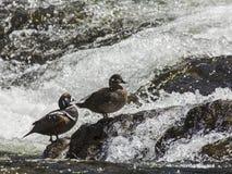 Patos del arlequín en los rápidos de LeHardy Fotos de archivo libres de regalías