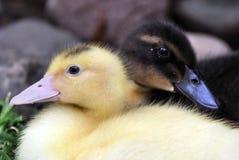 Patos del bebé Imagen de archivo libre de regalías