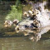 Patos del bebé Fotografía de archivo