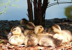 Patos del bebé Imagenes de archivo