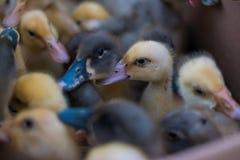 Patos del bebé dentro de la caja del cartón Imagen de archivo