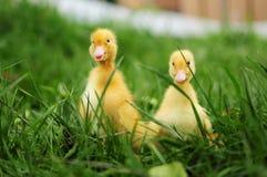 Patos del bebé en hierba de la primavera Foto de archivo