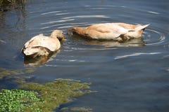 Patos del forraje Foto de archivo libre de regalías