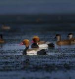 Patos del pato de mar Foto de archivo