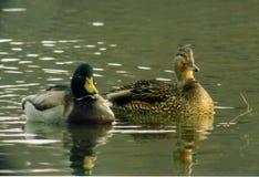 Patos del pato silvestre Foto de archivo