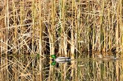 Patos del pato silvestre Fotos de archivo