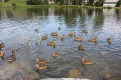Patos del pato silvestre con los patos del bebé que nadan en un lago fotografía de archivo