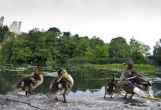 Patos del pato silvestre del bebé Imagenes de archivo