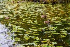 Patos del pato silvestre en un lago fotos de archivo libres de regalías