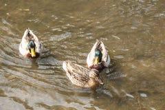 Patos del pato silvestre en un río Fotografía de archivo