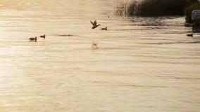 Patos del pato silvestre que nadan en el lago con agua de oro del color en la puesta del sol almacen de video