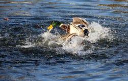 Patos del pato silvestre que salpican en agua Imágenes de archivo libres de regalías