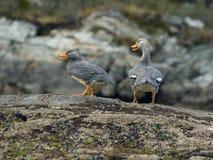Patos del vapor Imagenes de archivo