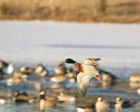 Patos del vuelo foto de archivo libre de regalías