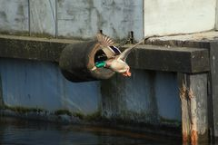 Patos del vuelo Imagen de archivo