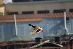 Patos del vuelo Fotografía de archivo libre de regalías