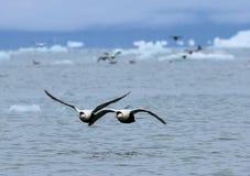 Patos del vuelo sobre el Océano ártico Foto de archivo libre de regalías