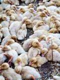 Patos do bebê Foto de Stock