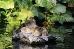 Patos do bebê Fotografia de Stock Royalty Free