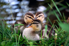 Patos do bebê Imagem de Stock