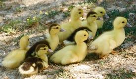 Patos do bebê Imagens de Stock