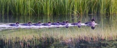 Patos do bebê que seguem sua mãe no alvorecer em um rio Imagem de Stock