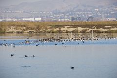 Patos do pato-colhereiro do norte que descansam nas águas do sul San Francisco Bay, Alviso, San Jose, Santa Clara County, casas e foto de stock