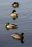 Patos do pato selvagem Foto de Stock