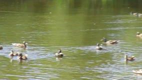 Patos do pato selvagem e gansos de Canadá no santuário de pássaro de Reifel filme