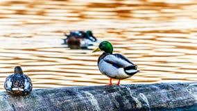 Patos do pato selvagem no santuário de pássaro de Reifel perto de Ladner, BC, Canadá imagens de stock royalty free