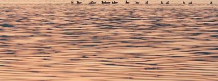 Patos do por do sol fotografia de stock royalty free