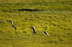 Patos do vôo Fotografia de Stock Royalty Free