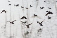 Patos do voo do rebanho Fotografia de Stock Royalty Free