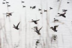 Patos do voo do rebanho Imagens de Stock Royalty Free