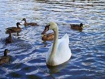 Patos do whit da cisne Foto de Stock