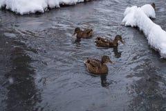 Patos do Wintering Patos na lagoa no inverno imagem de stock royalty free