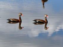 Patos dobles Fotos de archivo