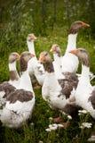 Patos domésticos Fotos de archivo