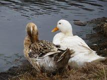 Patos domésticos Foto de archivo libre de regalías