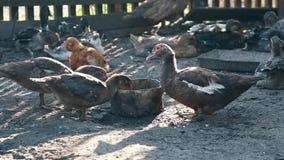 Patos domésticos de alimentação na exploração agrícola de Tailândia Negócio que cultiva o conceito filme