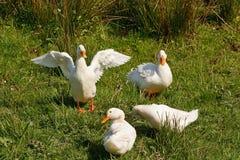 Patos domésticos do branco da exploração agrícola Foto de Stock Royalty Free