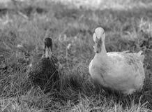Patos domesticados Imagem de Stock