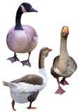 Patos dos gansos dos pássaros da exploração agrícola fotografia de stock royalty free