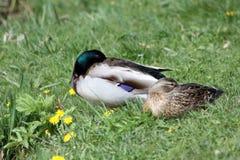 Patos dos pares Fotografia de Stock Royalty Free